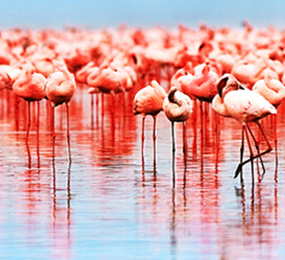 Kenya Flamingoes